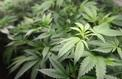 San Francisco amnistie des condamnés pour usage de cannabis