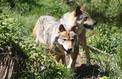 Le «plan loup» confirme un plafond d'abattage de 40 loups en 2018