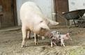 Fleury Michon veut des cochons bio