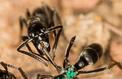 Des fourmis secouristes sur les champs de bataille