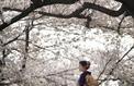 La pause photo du jour avec les sublimes cerisiers en fleurs du Japon