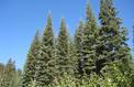 Sapin magnifique, géant des forêts d'Amérique