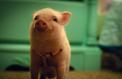D'où vient l'expression «avoir élevé les cochons ensemble» ?