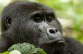 Ouganda, à la rencontre des derniers gorilles