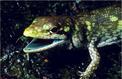 Le mystère des lézards au sang vert