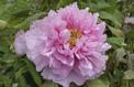 Pivoines: l'hommage des reines du printemps aux «poilus»