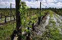 De gros dégâts dans les vignes après de violents orages dans l'Ouest