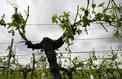 Grêle dans l'Ouest : plus de 17.000 hectares de vignes endommagées