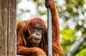 Le plus vieil orang-outang de Sumatra est décédé à l'âge de 62 ans