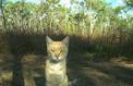 Chaque jour, les chats tuent plus de 1,5 million de reptiles en Australie