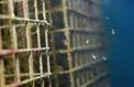 Des nurseries de poissons installées dans des ports pour repeupler les mers