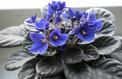Saintpaulia ou violette du Cap