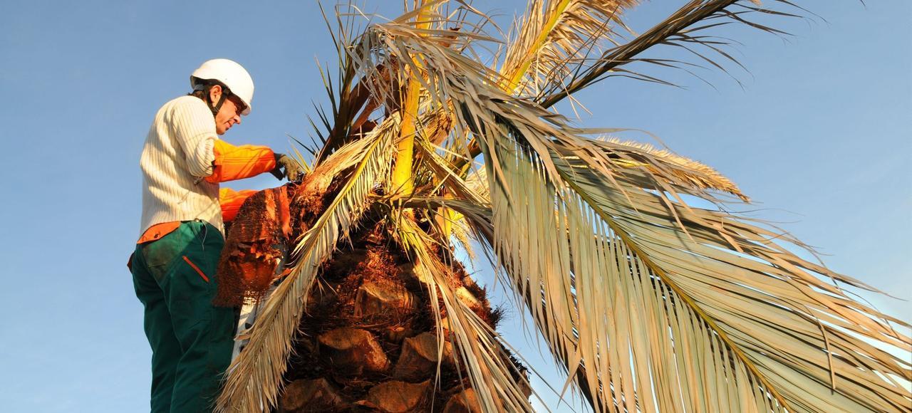 Un palmier infecté par le charançon rouge dans la région niçoise