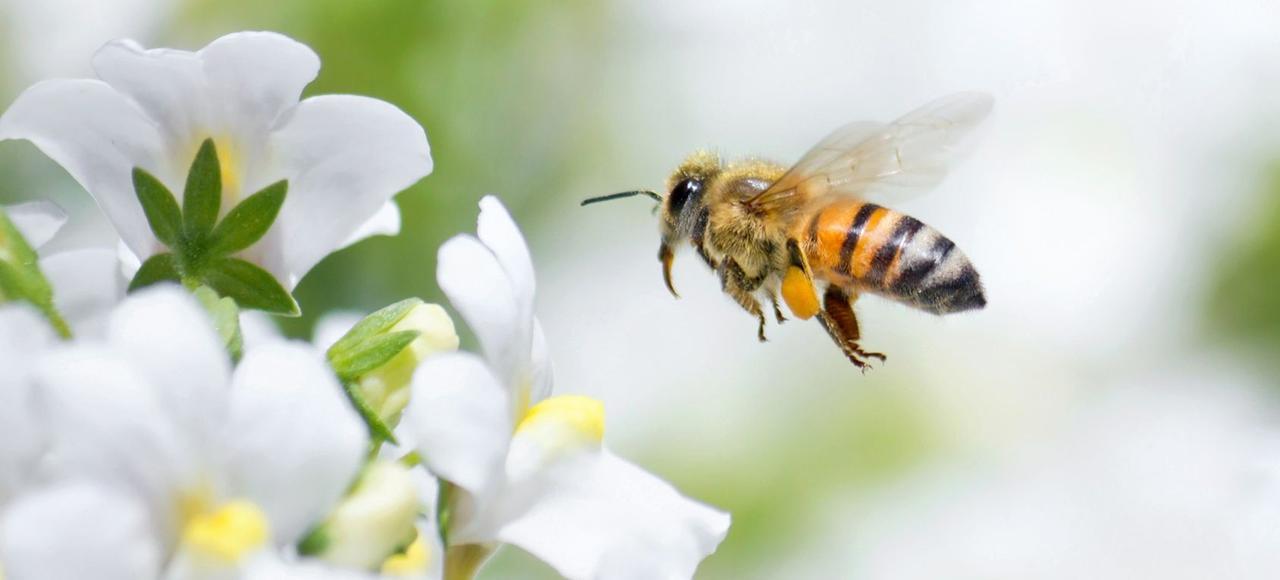 Selon l 'Anses, des résidus présents dans le sol après des pulvérisations d' insecticides à base de néonicotinoïdes pourraient «exposer les abeilles lors des floraisons suivantes».