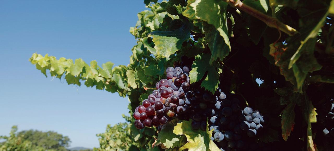 La culture de la vigne, qui ne représente que 3% des surfaces agricoles dans l'Hexagone, consomme 20% des produits phytosanitaires chaque année.
