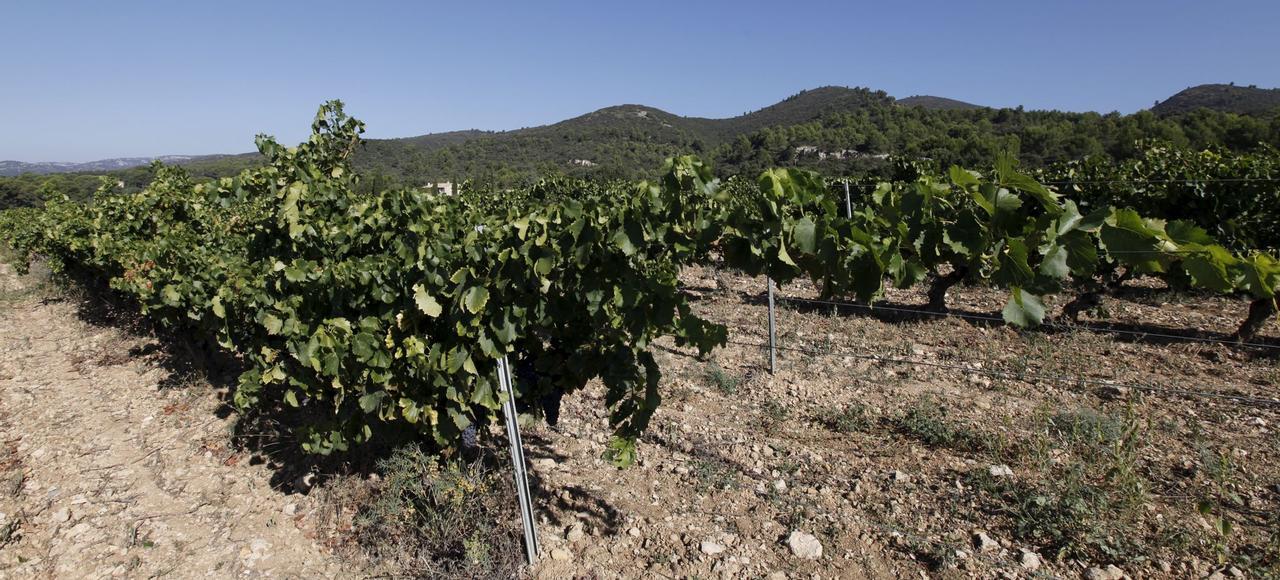 Une vigne dans le Luberon.