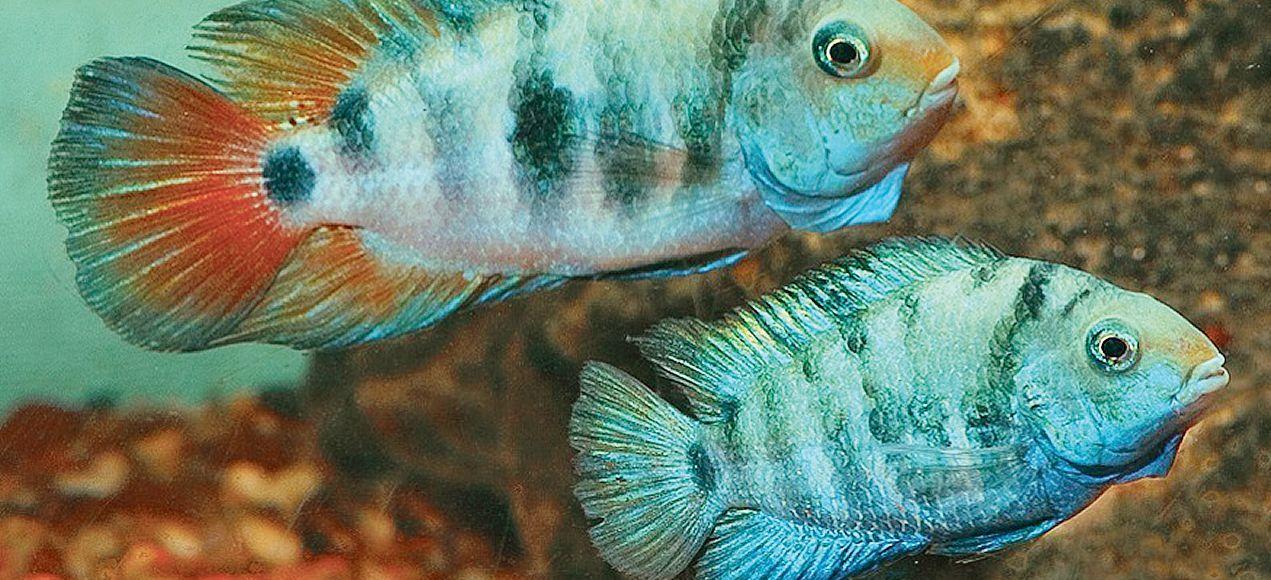 Le cichlidé zébré (Amatitlania siquia) est un poisson tropical monogame.