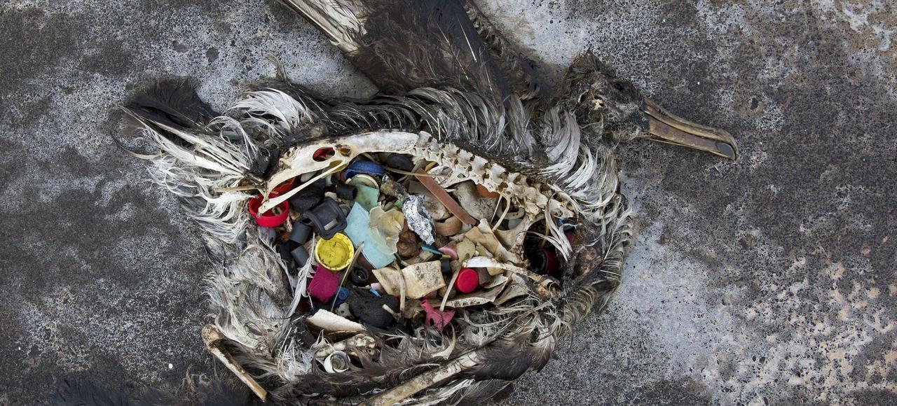 Ce cadavre de poussin d'albatros en décomposition, retrouvé sur l'atoll Midway dans le nord-ouest des îles hawaïennes (océan Pacifique nord), a l'estomac rempli d'objets en plastique.