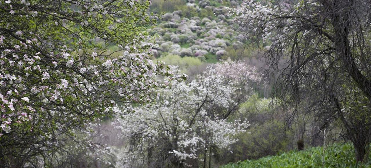 Le Malus sieversii, considéré comme l'ancêtre des pommiers cultivés, pousse dans des massifs rocheux de l'Asie centrale.