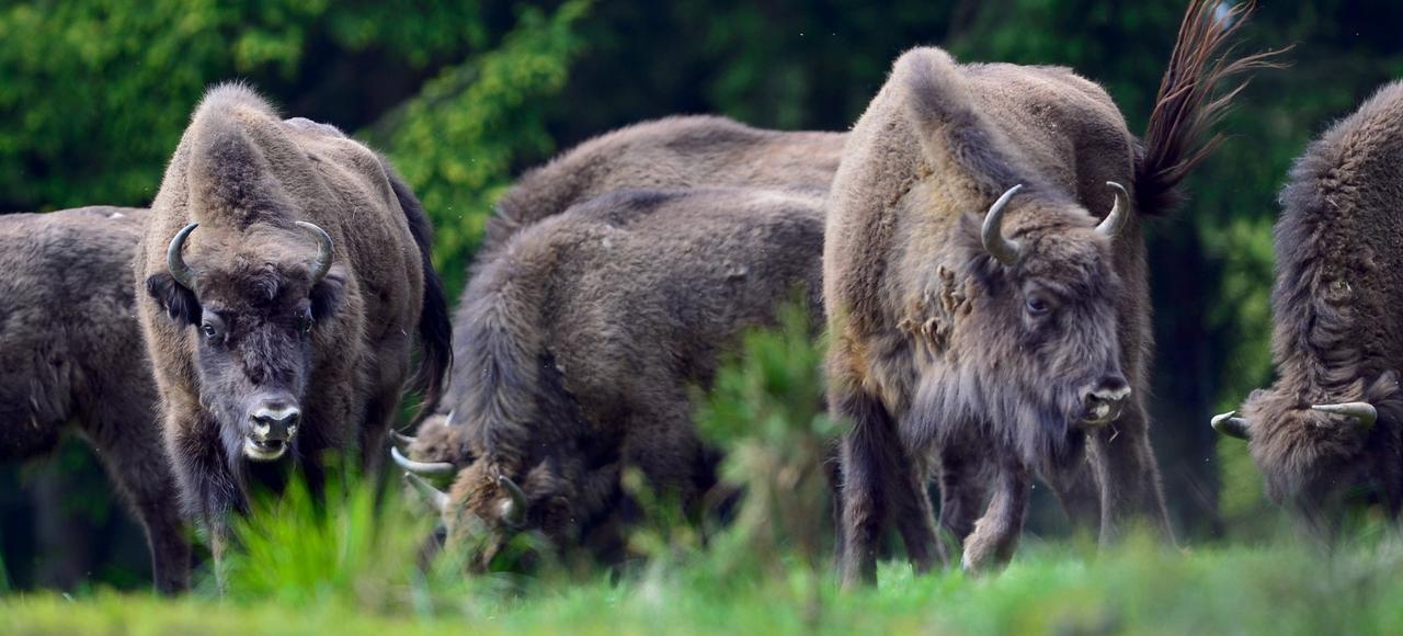 Selon une étude australienne, le bison européen actuel est un hybride entre le bison des steppes et l'aurochs (Bos primigenius), l'ancêtre de nos vaches et taureaux disparu au XVIIesiècle.