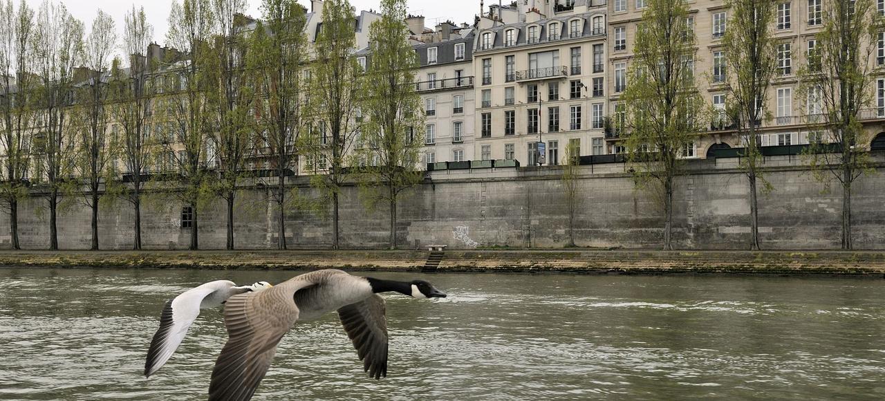 Une bernache et une oie à tête barrée, oiseaux que l'on trouve habituellement dans les parcs et jardins volent ensemble au-dessus de la Seine, en plein coeur de Paris.