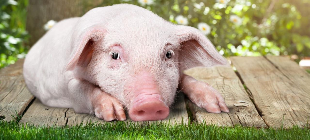La proximité comportementale et génétique du cochon avec l'homme en fait a priori un bon candidat.
