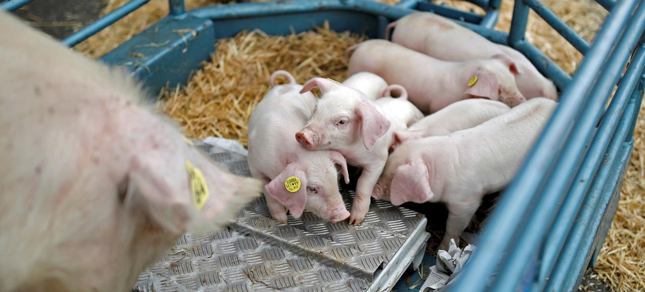 Des cochons sur un stand du Salon de l'agriculture, vendredi à Paris.