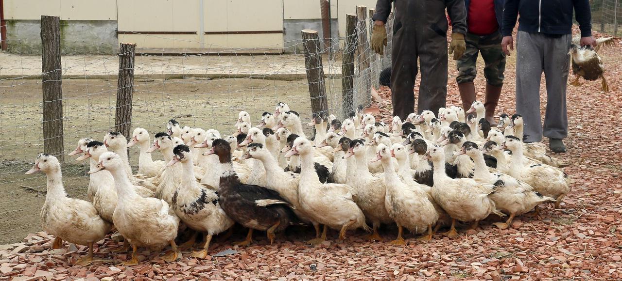 Des canards contaminés par le virus H5N8 partent à l'abattoir.