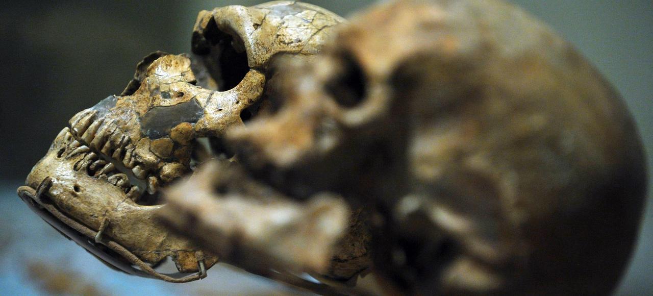 Deux crânes au Musée national d'Histoire naturelle de Washington. À droite, un Homo Sapiens, à gauche, un Homo Néandertal.