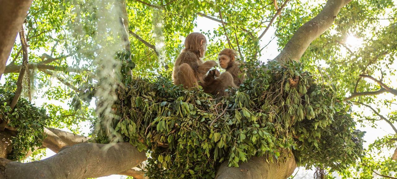 Pierola, grand singe frugivore qui vivait dans l'actuelle Espagne, il y a 13 millions d'années.