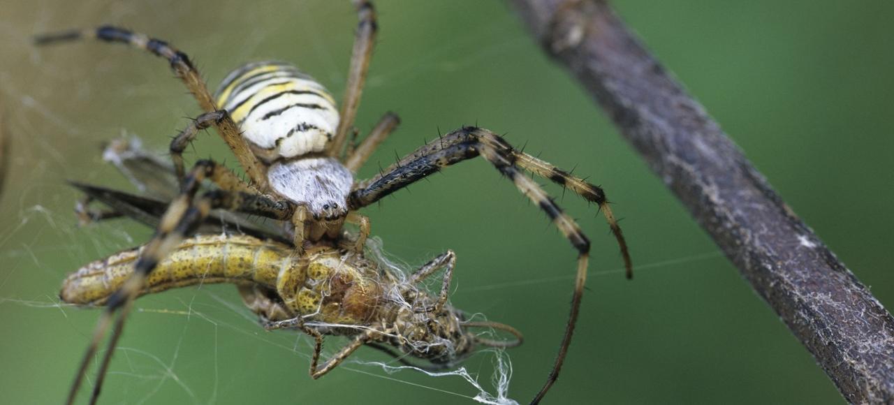 En moyenne, on estime qu'une araignée (ci-dessus, une épeire fasciée) dévore chaque jour l'équivalent de 10 à 20% de son propre poids.