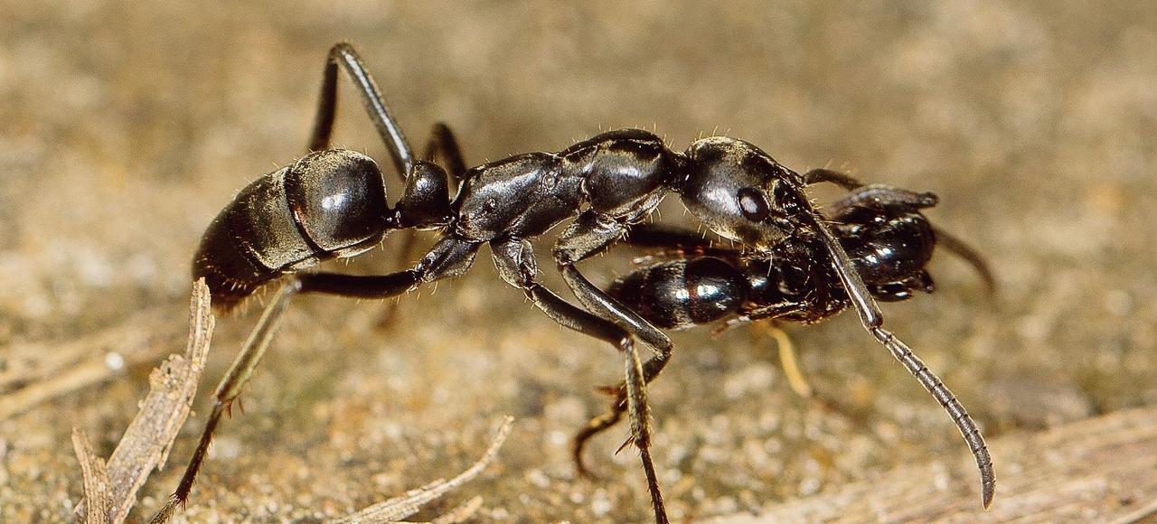 Une fourmi Megaponera analis, spécialisée dans la chasse aux termitess ramène une blessée jusqu'au nid.