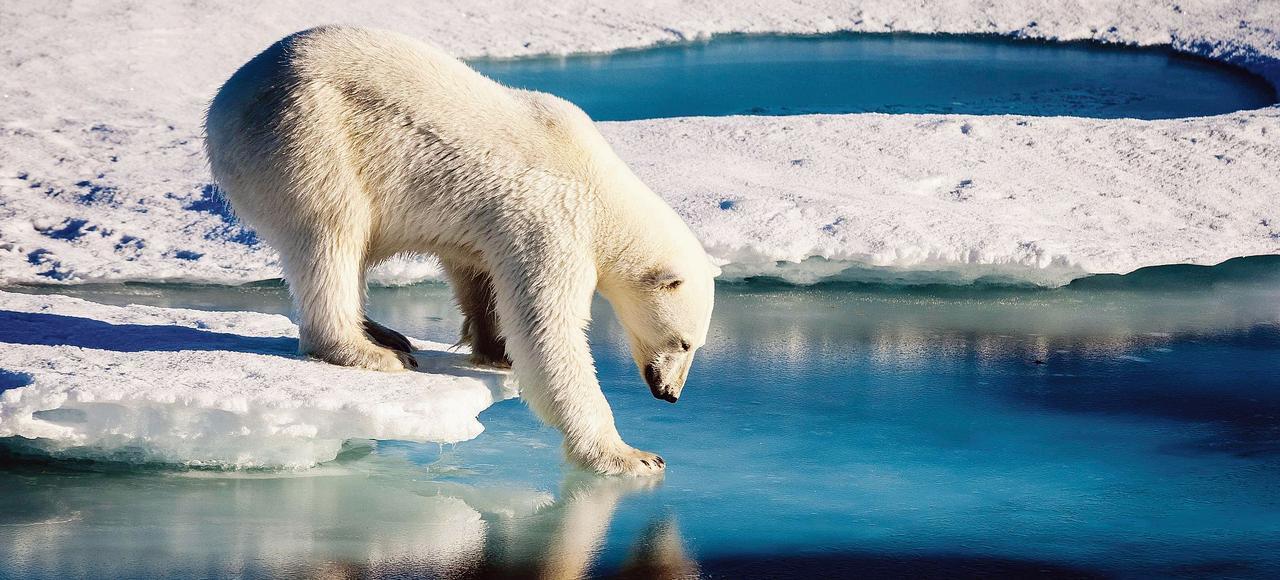 Un ours blanc au bord de l'océan Arctique. En raison du réchauffement climatique et du bouleversement de leur habitat, les populations d'ours blancs sont globalement en déclin et l'espèce est considérée comme en danger.