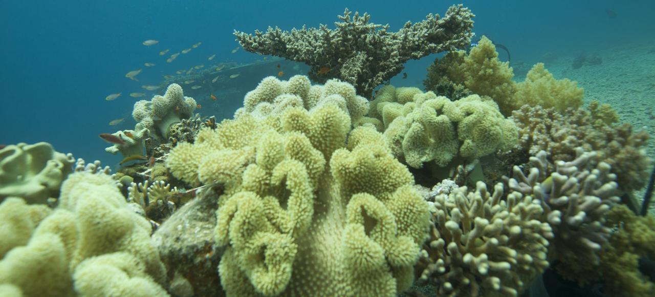 Dans le golfe d'Aqaba, des scientifiques étudient la réponse au stress de température des coraux de la mer Rouge.