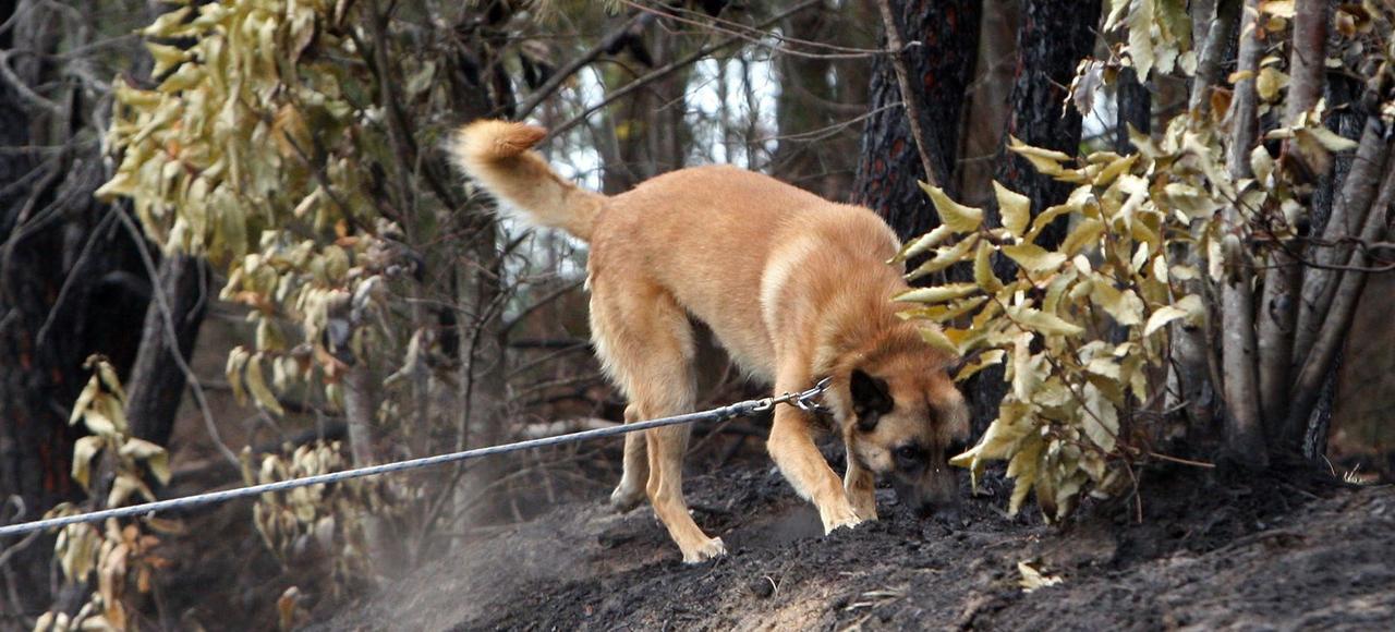 Un chien renifleur de la gendarmerie en action dans les bois de Ruaudin (Sarthe), après un incendie en août 2015.