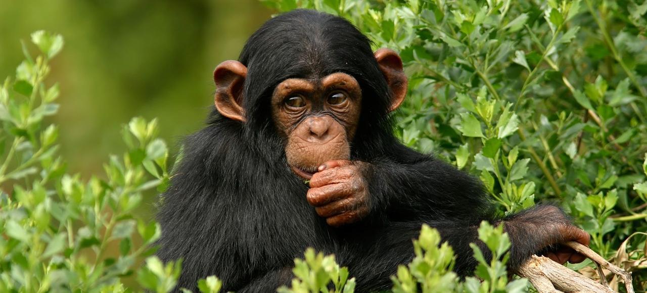 Un chimpanzé.