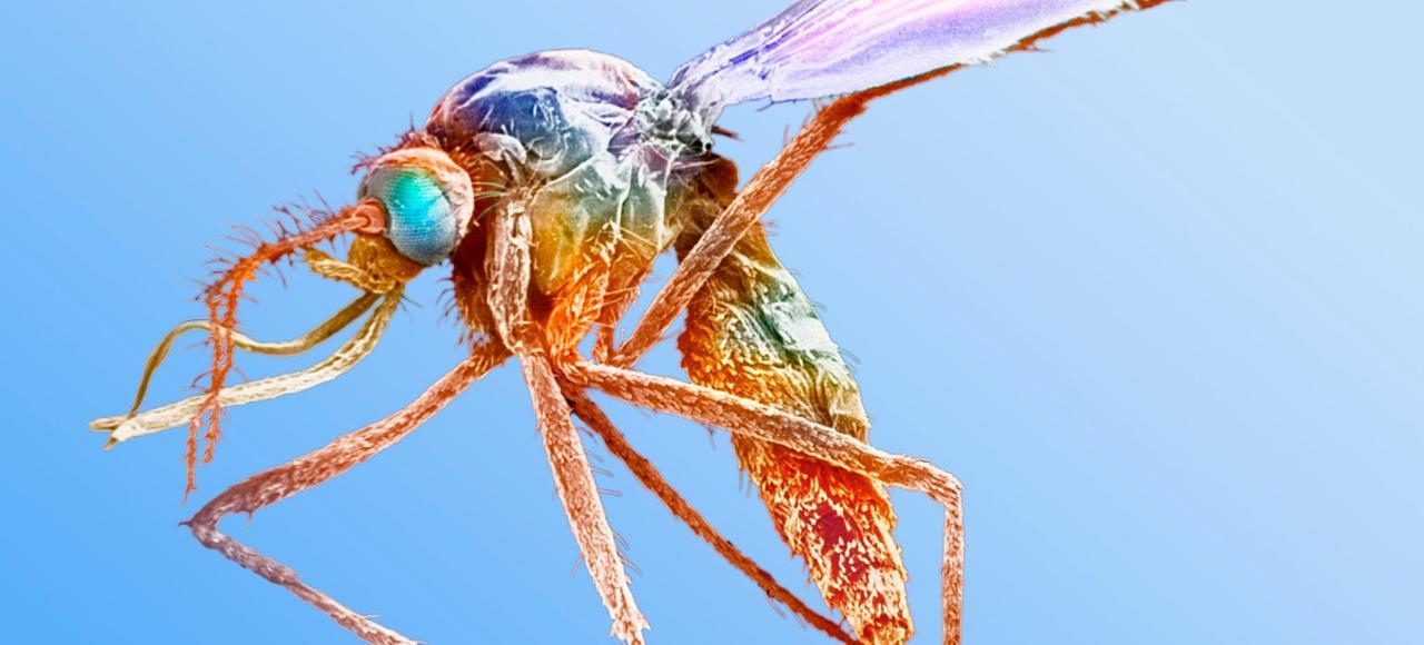 Encore plus dangereux lorsqu'ils sont gorgés de sang, les moustiques propagent notamment le paludisme.