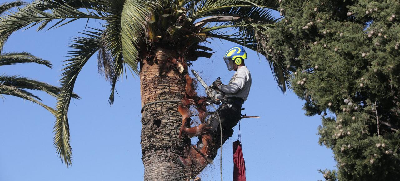 Élagage des palmiers et protection contre les charançons sur la promenade des anglais à Nice.