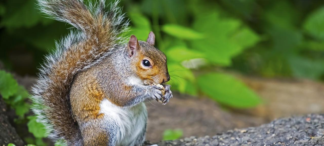 Originaire d'Amérique du Nord, où il vit essentiellement dans la forêt, l'écureuil gris a été introduit à la fin du XIXesiècle en Angleterre et en a conquis les zones urbaines.