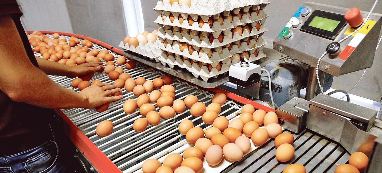 Un inspecteur du travail vérifie une file de production d'oeufs dans une ferme située près d'Anvers, en Belgique.