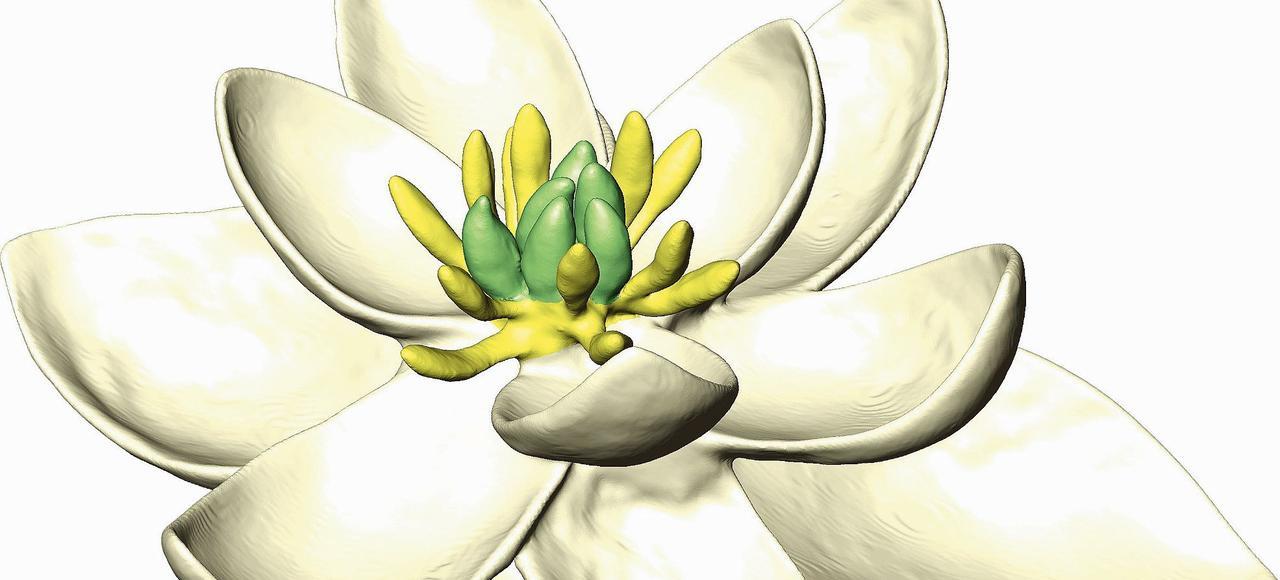 La «mère de toutes les fleurs» reconstituée par les chercheurs s'avère hermaphrodite.