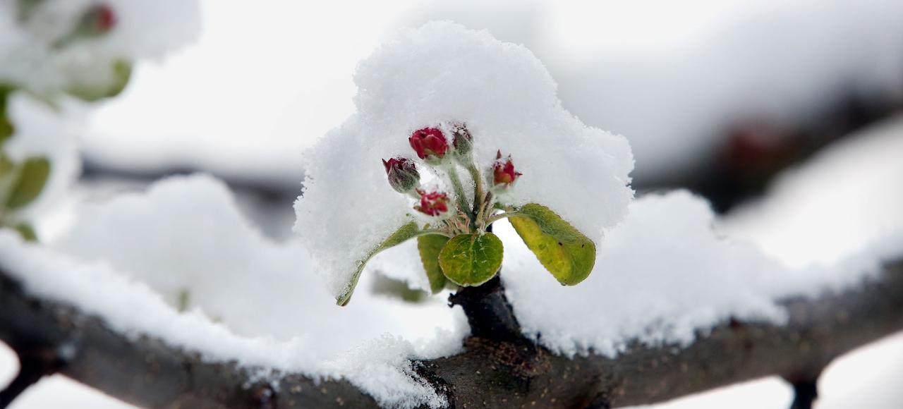 Dans de nombreux pays européens, le gel tardif du printemps a fortement endommagé les pommiers en fleurs.