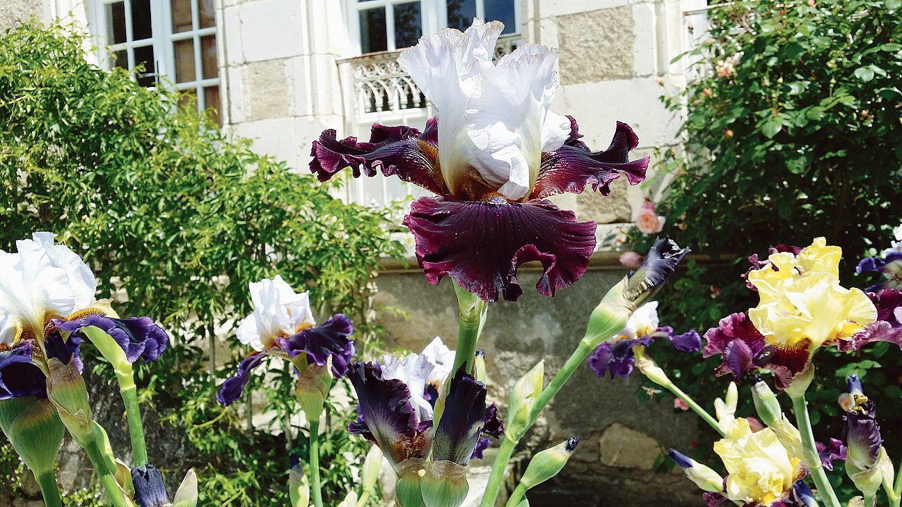L 39 clatante beaut des iris en fleur - Langage des fleurs iris ...