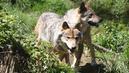 Les éleveurs en colère contre le nouveau «plan loup»