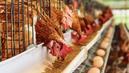 En 2022, tous les œufs en boîtes devront être issus d'élevage de plein air