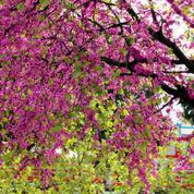 Quel arbre à croissance rapide pour faire de l'ombre ?