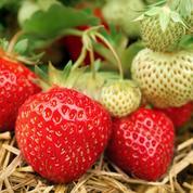 Fraisier, l'incontournable petit fruit rouge