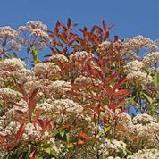 Haie: quels arbustes planter autres que le thuya ?