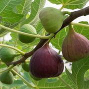 Figuier, l'arbre fruitier tout terrain