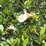 Quand élaguer un Magnolia grandiflora ?